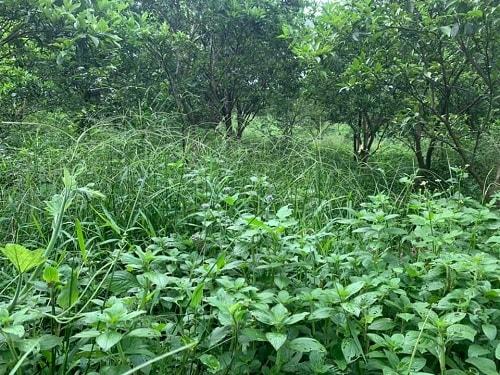 để cỏ trong vườn giúp bảo vệ đất, giữ ẩm, cải tạo đất,