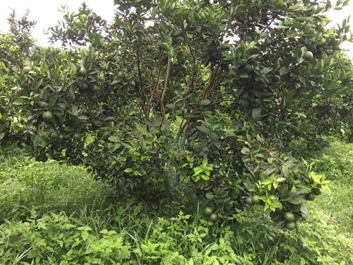 Cây trong giai đoạn sinh sản cần bổ sung dinh dưỡng qua lá