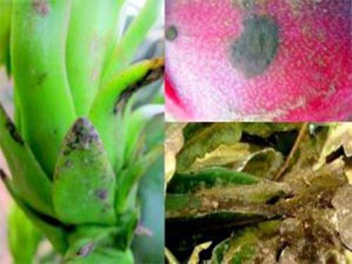 Triệu chứng của bệnh nấm bồ hóng trên cây thanh long