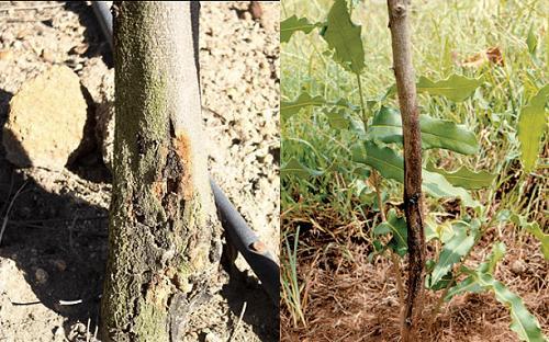 Triệu chứng của bệnh nứt thân xì mũ trên cây mắc ca