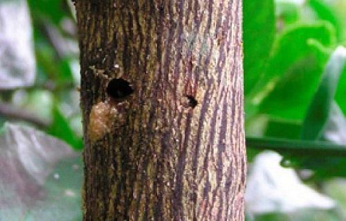 sâu đục thân trên cây chanh