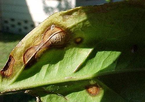 Triệu chứng của bệnh thán thư trên cây quýt