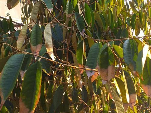 Triệu chứng của bệnh thán thư trên cây sầu riêng