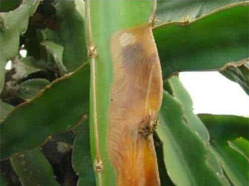 Triệu chứng của bệnh thối ngọn, thối đầu cành trên cây thanh long