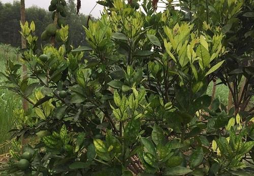bệnh vàng lá gân xanh trên cây cam