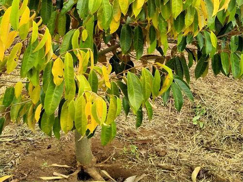 Triệu chứng của bệnh vàng lá thối rễ trên cây sầu riêng