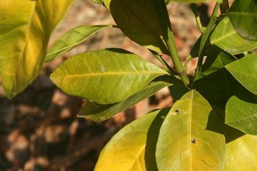 bệnh vàng lá thối rễ trên cây quýt