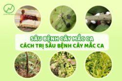 Sâu bệnh trên cây mắc ca và cách điều trị hiệu quả