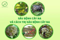 Sâu bệnh cây na và cách trị sâu bệnh cây na