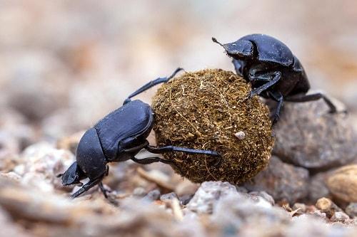 bọ hung hay bọ phân là một loài côn trùng mang lại lợi ích rất lớn trong canh tác nông nghiệp