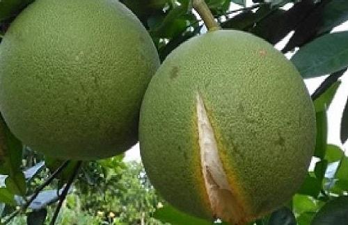nứt trái cây bưởi