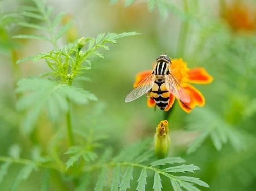 hoa cúc vạn thọ thu hút côn trùng