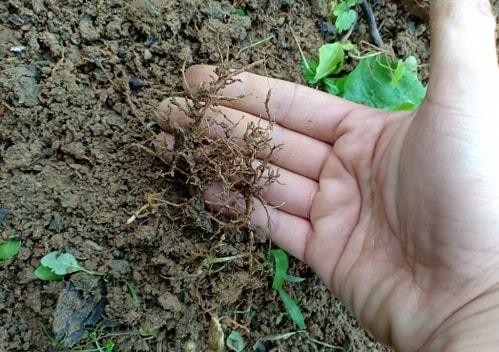 Rễ bị thối do nấm hại tồn tại trong đất