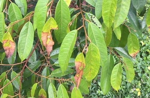 bệnh thán thư trên cây sầu riêng