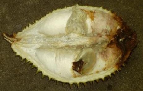 bệnh thối trái sầu riêng