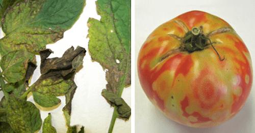 cà chua bị bệnh do nhiễm virus