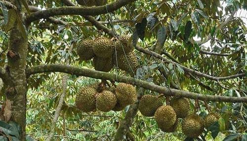 Cách chăm sóc cây sầu riêng hiệu quả