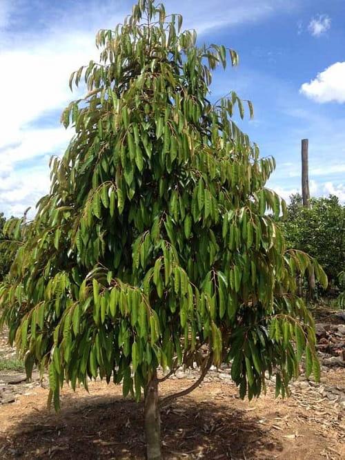 cách chăm sóc tỉa cành tạo tán cây sầu riêng