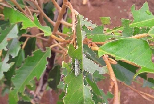 bọ cánh cứng câu cấu xanh cắn phá sầu riêng