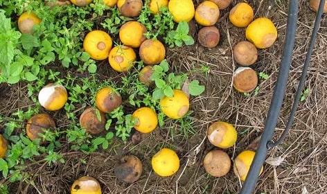 cam rụng trái do nấm