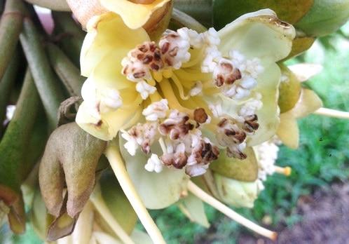 biểu hiện bệnh thán thư trên hoa sầu riêng