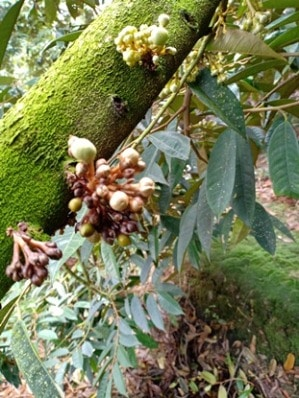 hoa sầu riêng bị thối