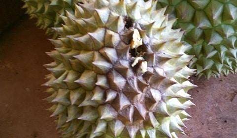 thối trái sầu riêng