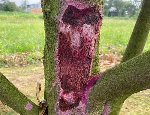 sầu riêng bị chảy gôm