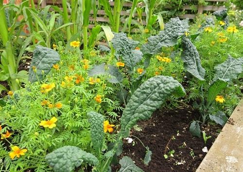 lợi ích của việc trồng cây đồng hành trong vườn rau