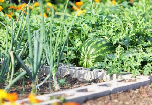 cây trồng kết hợp với cây dưa hấu giúp hạn chế côn trùng gây hại