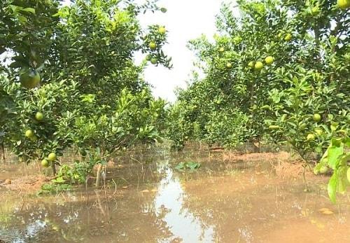 đất ngập nước gây thối rễ cây