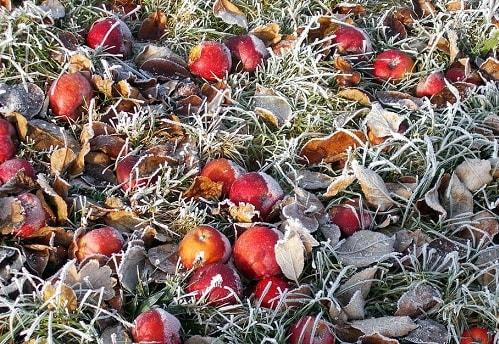 sương muối làm rụng trái