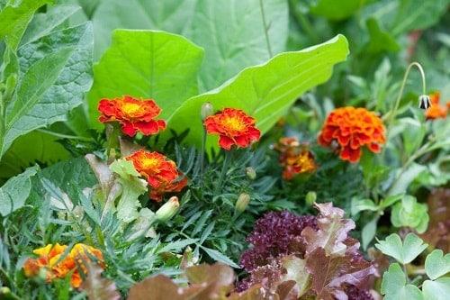 trồng cúc vạn thọ kết hợp với cây dưa hấu