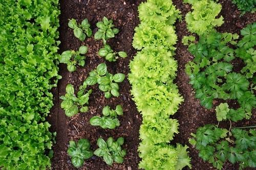 trồng xen canh cây đồng hành