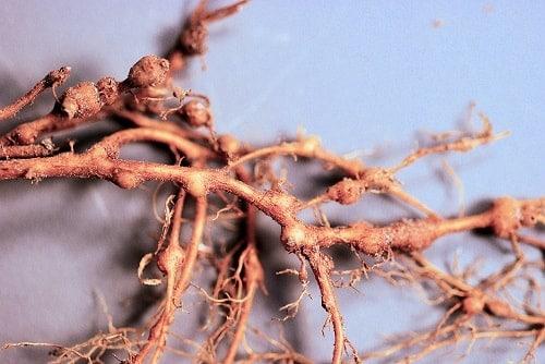 rễ cây bị bệnh tuyến trùng