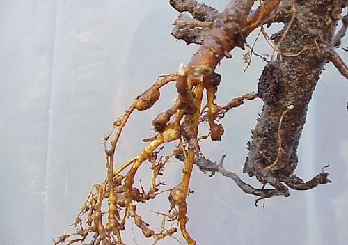 biểu hiện rễ bị tuyến trùng