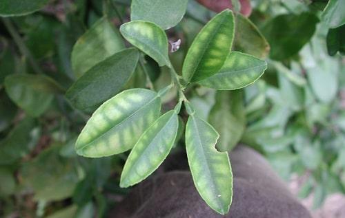 biểu hiện cây thiếu dinh dưỡng vi lượng kẽm