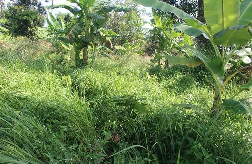 Vùng đất đồi sau khi được phủ bằng cỏ mỹ