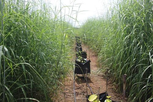 cỏ mỹ được trồng để lấy sinh khối cải tạo đất