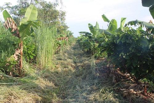 cỏ được cắt tỉa để phủ gốc