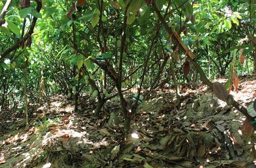 gốc cây cacao được che phủ bằng cỏ