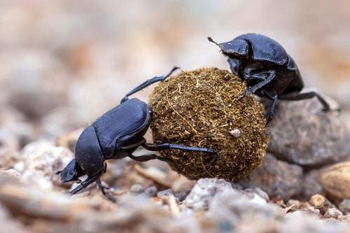bọ hung giúp bảo vệ môi trường