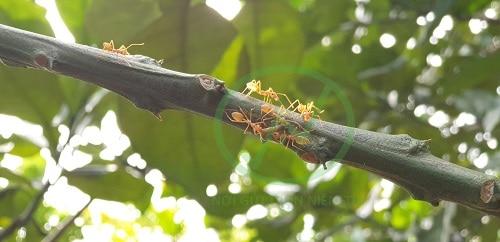 kiến vàng là loài sinh vật rất có ích với người làm vườn