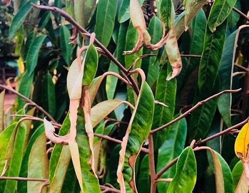 rầy xanh là loại côn trùng gây hại sầu riêng rất mạnh