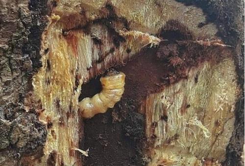 ấu trùng đục thân do bọ xén tóc sinh ra