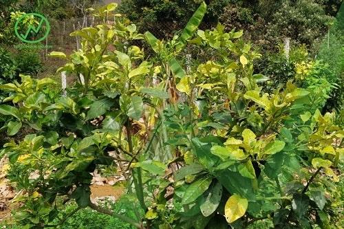 Biểu hiện cây bị vàng lá do thối rễ