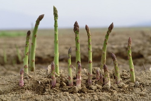 măng tây thích hợp trồng trên đất pha cát