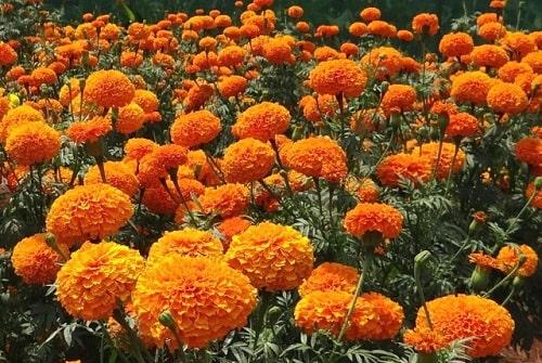 Cúc vạn thọ là loài hoa có tác dụng xua đuổi côn trùng gây hại