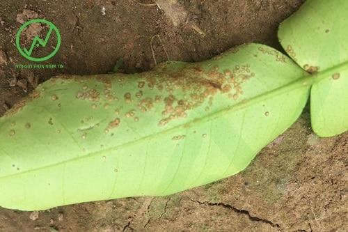 Bệnh ghẻ sẹo trên lá