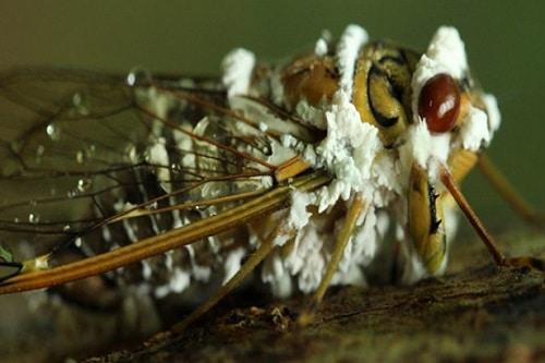 Chế phẩm nấm xanh nấm trắng được dùng như thuốc sâu sinh học